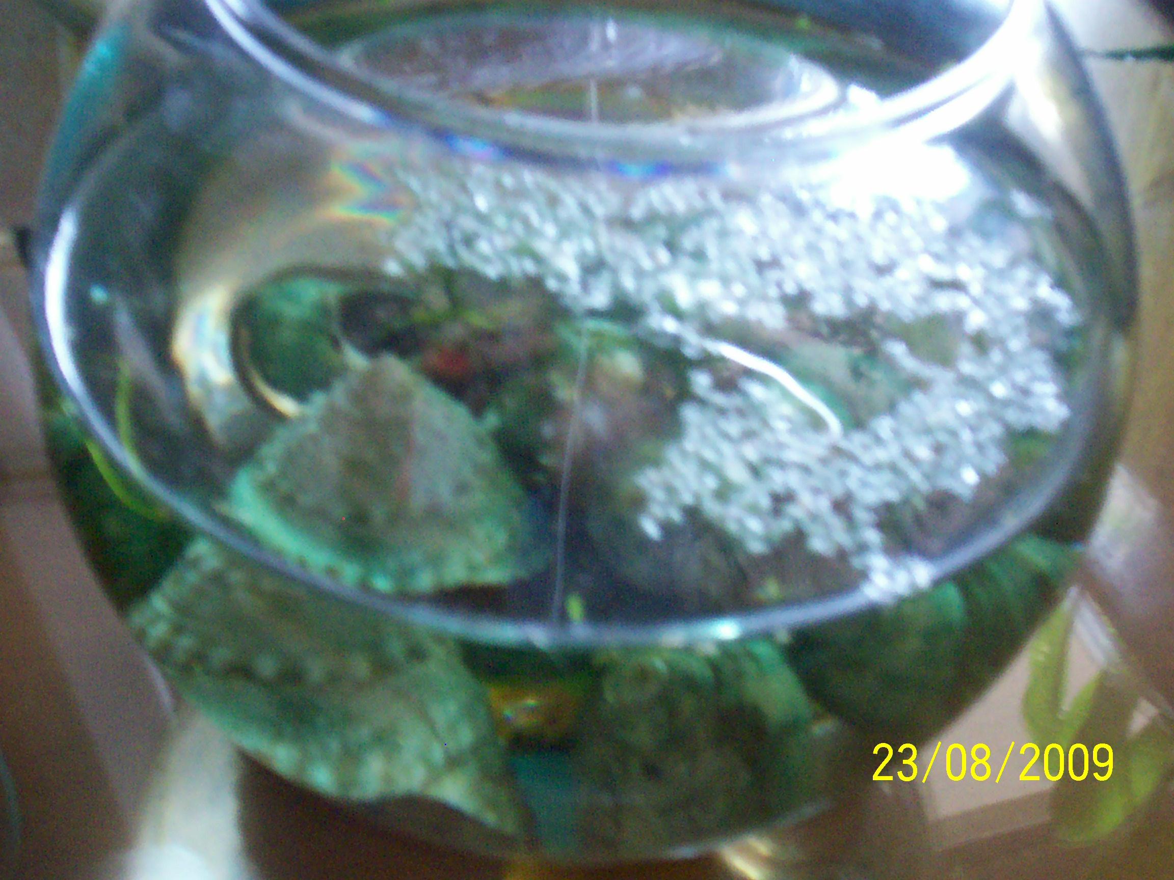 Le mie piante acquatiche for Lenticchia d acqua